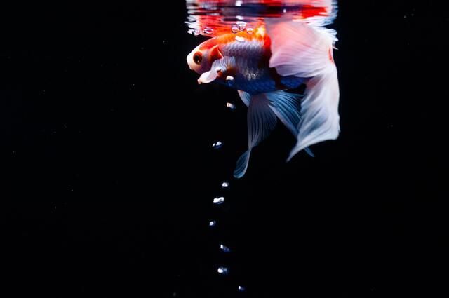 暗闇を泳ぐ美しい金魚