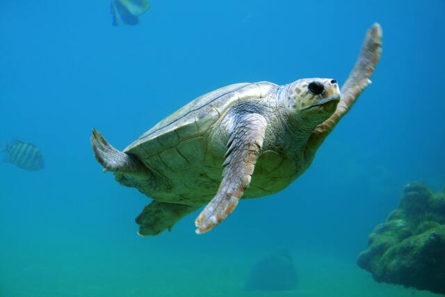 海を泳ぐ海亀